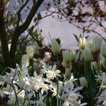 Narcissus triandrus 'Thalia', Tulipa 'Purissima', Stewartia rostrata