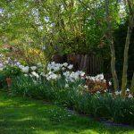^Narcissus triandrus 'Thalia', Tulipa 'Purissima', Lunaria rediviva, Koelreuteria paniculata, Stewartia rostrata, Hosta Mango Salsa, Euphorbia griffithii 'Fireglow', Berberis thunbergii 'Atropurpurea Nana'