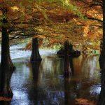 Arboretum Ellerhoop-Thiensen - Taxodium distichum