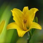 Hemerocallis lilioaspodelus