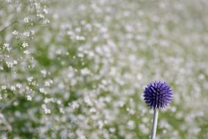 qEchinops ritro 'Veitch's Blue' und Gypsophila paniculata