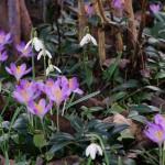 Galanthus nivalis und Crocus tommasinianus