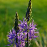 Ein Bild der Prärielilie Camassia leichtlinii