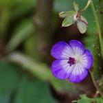 Geranium Hybride 'Rozanne'
