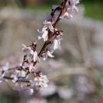 Abeliophyllum distichum - Schneeforsythie