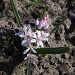 Scilla bifolia 'Rosea'