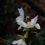 Helleborus niger trotzt dem Winter