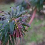 Euphorbia characias 'Purpurea'