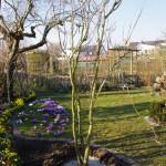 Koelreuteria paniculata - frisch gepflanzt