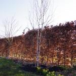 Betula utilis - frisch gepflanzt