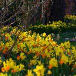 Narcissus 'Jetfire' und 'Tête à Tête'