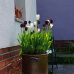 Tulipa 'White Triumphator' und 'Queen of the Night'