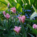 Tulipa 'China Town'q