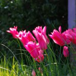 Tulipa 'Mariette'