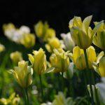 Tulipa 'Spring Green' und Tulipa 'Yellow Springgreen'