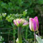 Tulipa 'Nightrider'