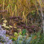 Herbstaspekt mit Aster, Sedum und Miscanthus