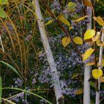 Betula utilis und Aster cordifolius 'Ideal'