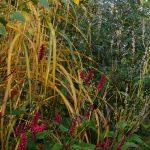 Miscanthus sinensis 'Malepartus', Bistorta amplexicaulis 'J.S. Caliente', Bistorta amplexicaulis 'Alba'