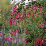 Fuchsia magellanica var. gracilis