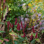 Inula helenium, Bistorta amplexicaulis 'Blackfield', Aster cordifolius 'Ideal'