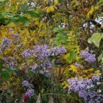 Aster cordifolius 'Ideal', Rosa 'Roseraie de l'Hay'