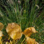 Hosta 'Guacamole', Pennisetum alopecuroides 'Hameln'