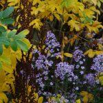Aster cordifolius 'Ideal', Astilbe chinensis var. taquetii 'Purpurlanze', Rosa 'Roseraie de l'Hay'
