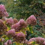 Hydrangea paniculata 'Limelight'q