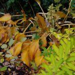 Euphorbia griffithii 'Fireglow', Hosta ventricosa