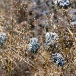 Sporobolus heterolepis 'Cloud', Allium sphaerocephalon