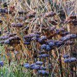 Sesleria autumnalis, Sedum X 'Matrona', Amsonia hubrichtii