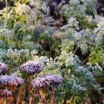 Sedum telephium 'Herbstfreude', Ruta graveolens