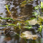 Rana temporaria - Grasfrosch