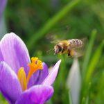 Biene und Krokusq