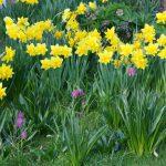 Fritillaria meleagris, Narcissus