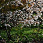 Amelanchier laevis, Tulipa sylvestris