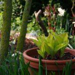 Hosta Mango Slasa, Koelreuteria paniculata