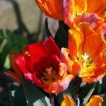 Tulipa 'Irene Parrot'