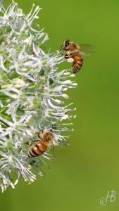 Allium 'Mount Everest' und Bienen
