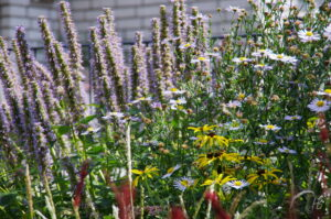 Kundengarten mit Agastache Rugosa-Hybride 'Blue Fortune', Rudbeckia missouriensis, Kalimeris incisa 'Madiva'