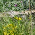 Rudbeckia missouriensis, Stipa tenuissima, Verbena bonariensis