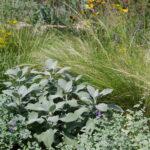 Salvia 'Berggarten', Nepeta 'Superba', Stipa tenuissima