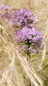 Allium 'Millenium', Stipa tenuissima