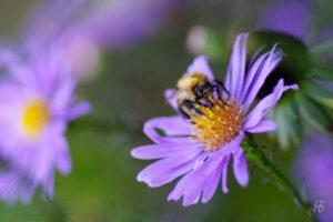 Biene auf Aster laevis 'Calliope'