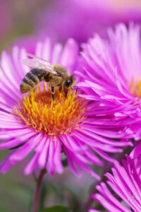 Biene auf Aster novae-angliae