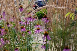 Echinacea im Blumenstraußbeet